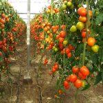 CE confirma que Marruecos agotó el cupo de tomate con arancel preferente